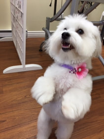 Beautiful Coton De Tulear with bow in her collar.